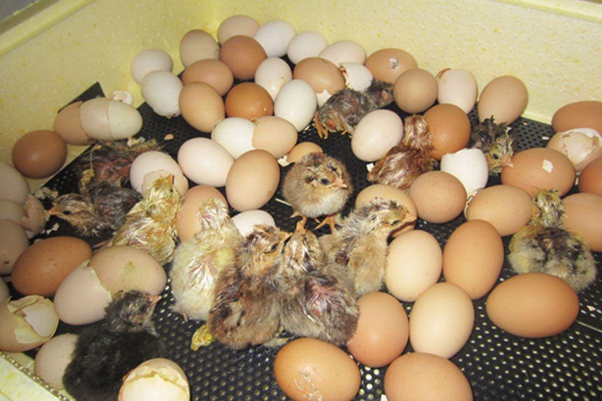 Как вывести цыплят в инкубаторе- подробная инструкция