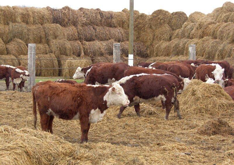 Корова в домашних условиях - пошаговая инструкция по выращиванию для начинающих