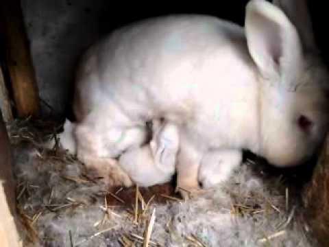 Как выкормить новорожденных крольчат без крольчихи