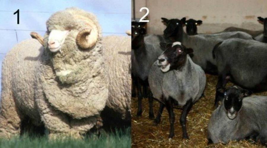 Откорм овец на мясо в домашних условиях