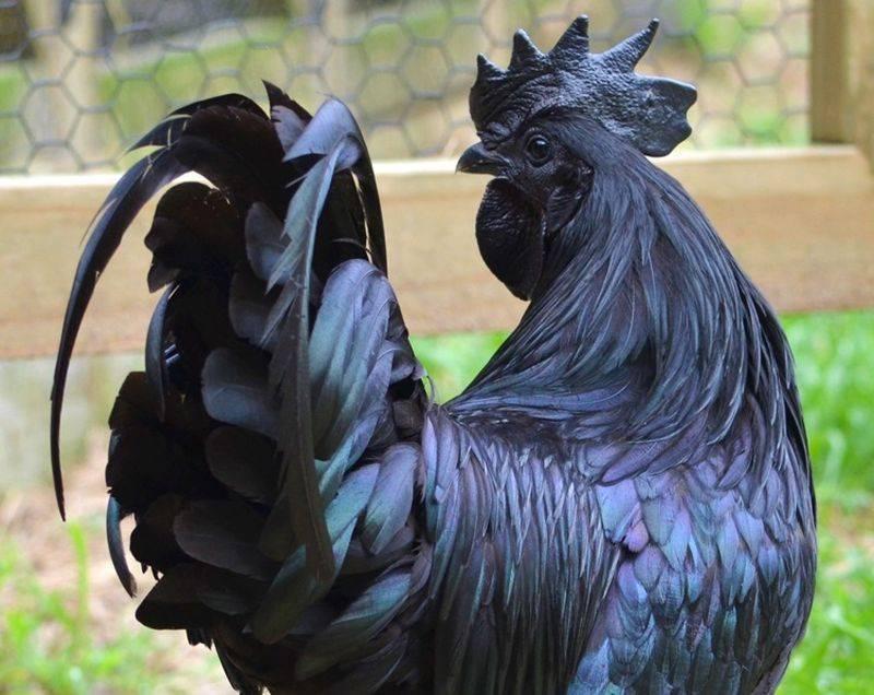 Куры с чёрным оперением: породы, фото