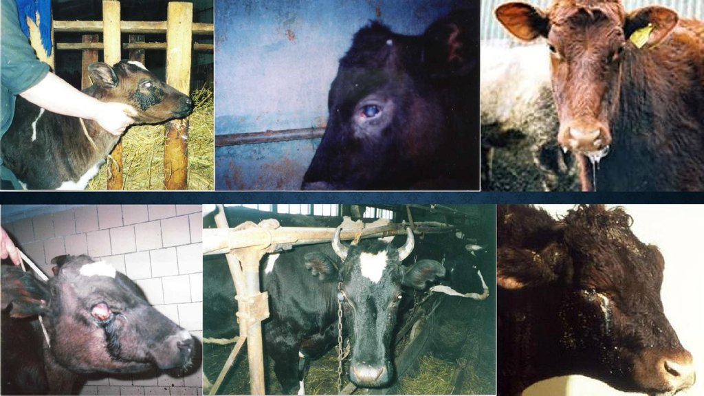 Воспаление суставов у коровы лечение
