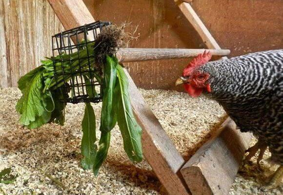 Посадка корма для кур в огороде и топ 3 самых любимых куриных сорняков