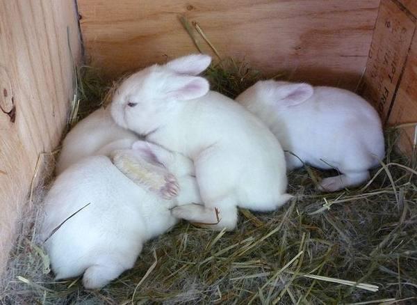 Как узнать кормит ли крольчиха крольчат и как организовать искусственное вскармливание?