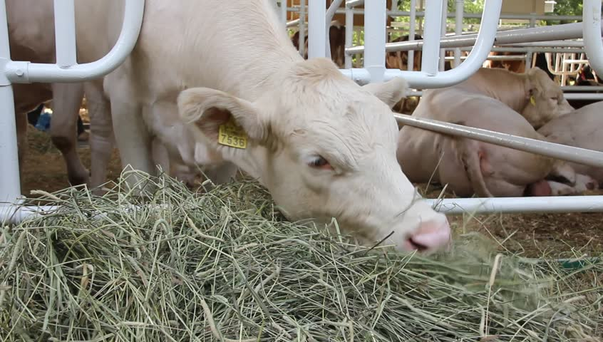 Сухостойный период у коров: что это такое? нормы кормления. сколько длится зимний сухостойный период?