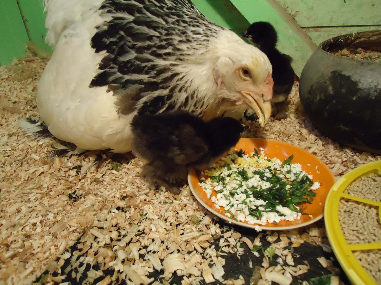 Чем кормить кур? чем кормить несушек в домашних условиях, чтобы они хорошо и много неслись? норма кормления. можно ли давать курам пенопласт и хлеб?