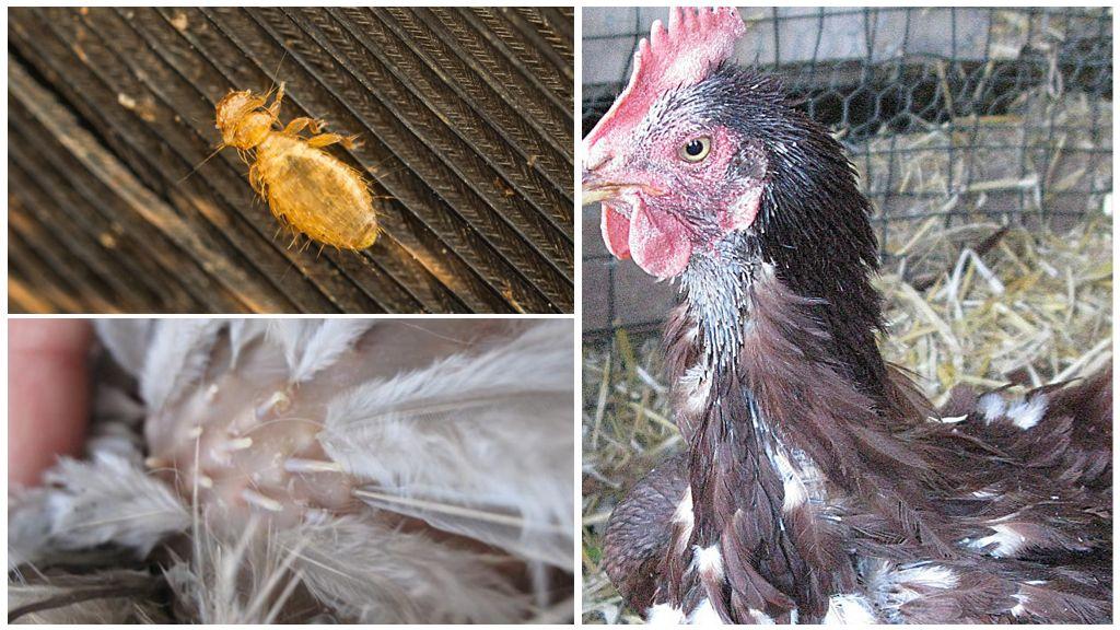 Куриный клещ: как избавиться от непрошеного гостя