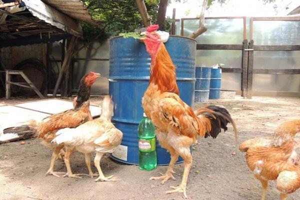 Все о бойцовских петухах, курах и цыплятах: особенности пород боевых петухов