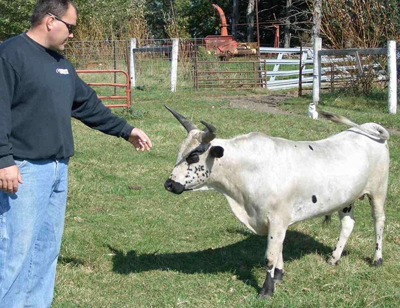 ✅ о мини коровах (породы маленьких, карликовых, декоративных, миниатюрных коров) - tehnomir32.ru