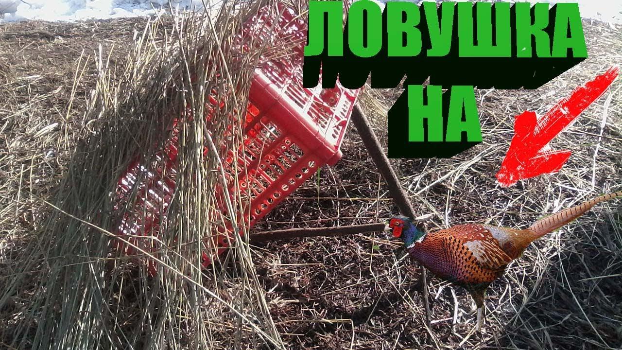 Как сделать петлю на фазана из лески. как поймать живого фазана — варианты ловушек и рекомендации