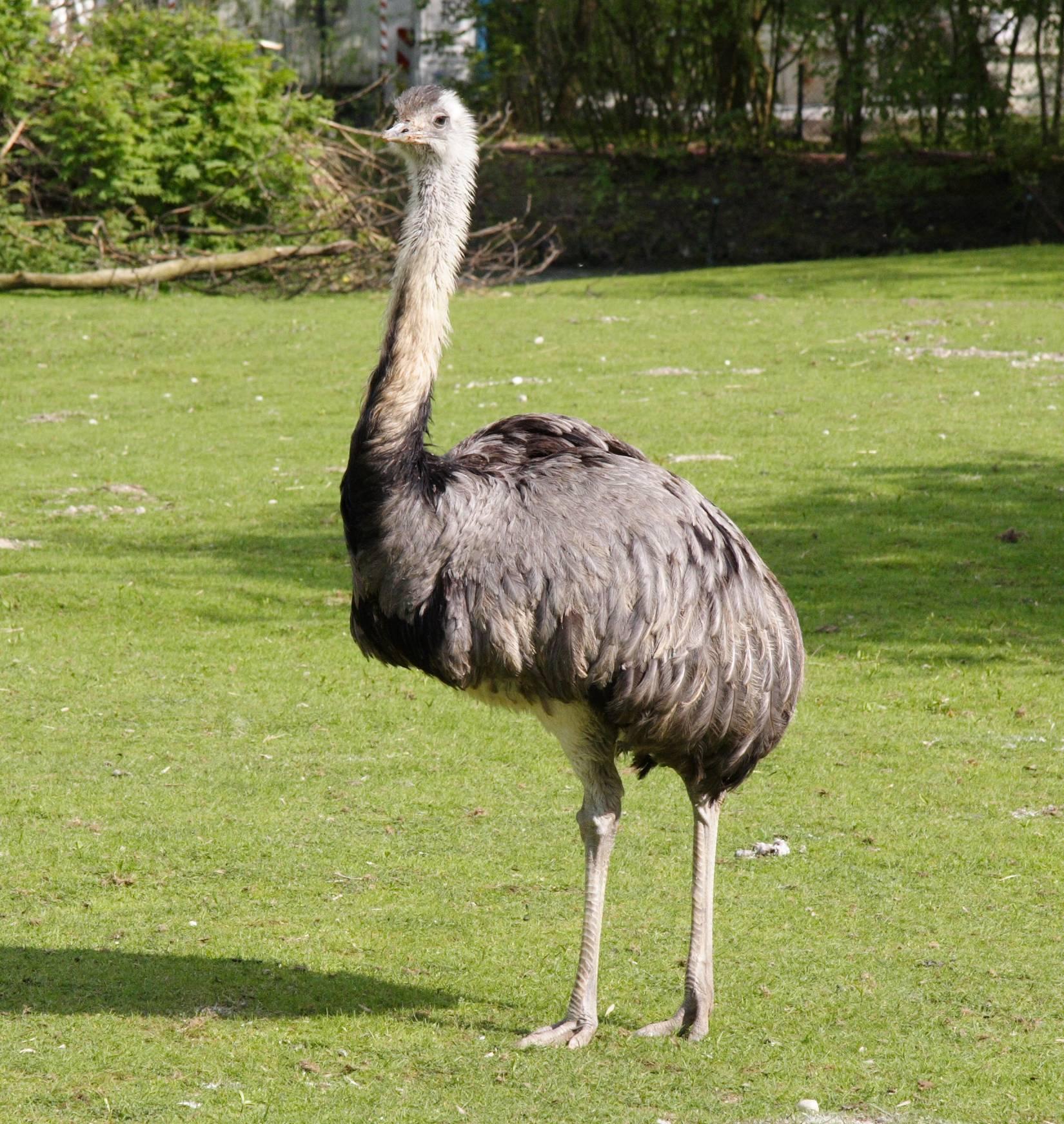 Разновидности страусов: сколько весят взрослые особи, какими особенностями обладают