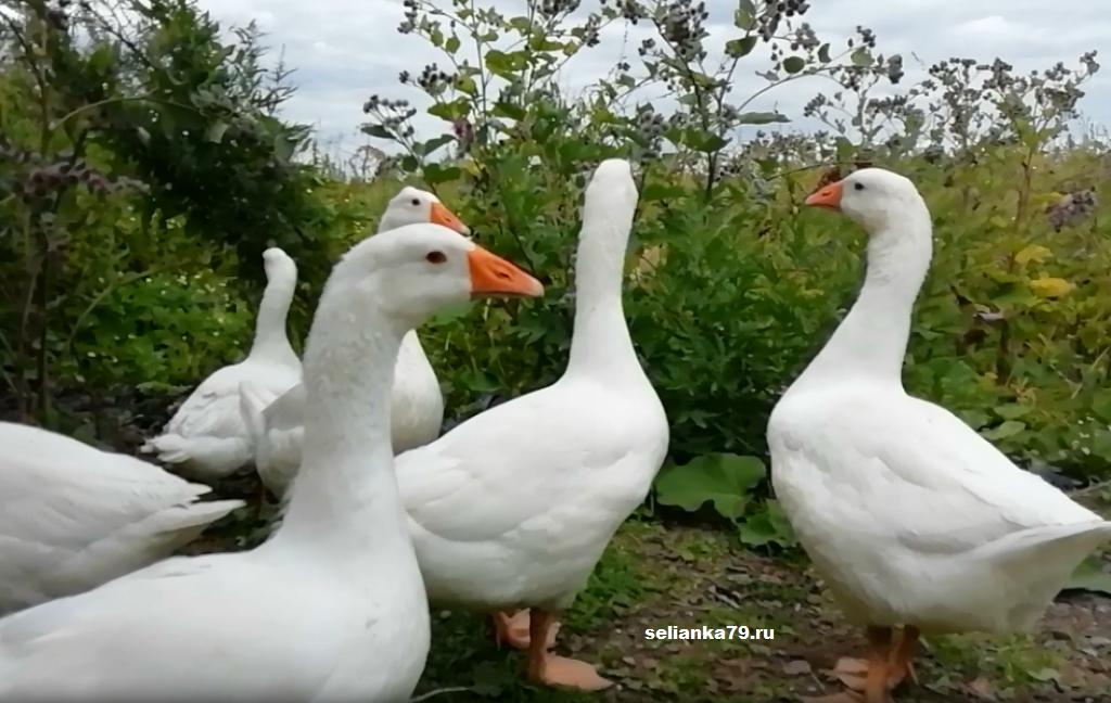 Тулузские гуси – главные характеристики и условия содержания