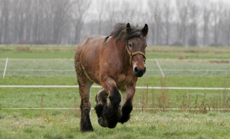 Тяжеловозные породы лошадей и чем примечательны такие кони, внешнее описание тяжеловозов
