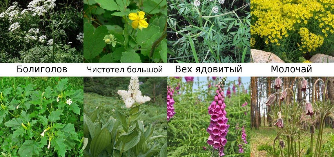 ✅ можно ли давать кролику хвощ полевой: горчица, лютики, мышиный горошек в рационе - tehnomir32.ru