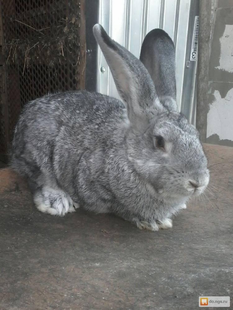 Порода кроликов советская шиншилла: описание породы, особенности содержания и ухода, разведение животных