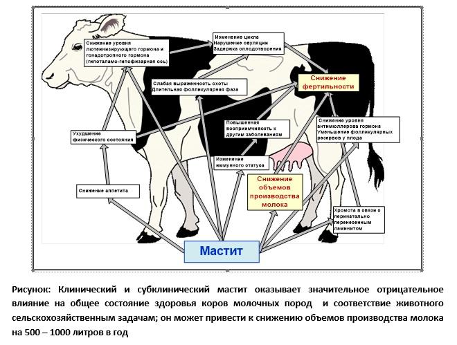 Случная болезнь у лошадей: симптомы и лечение