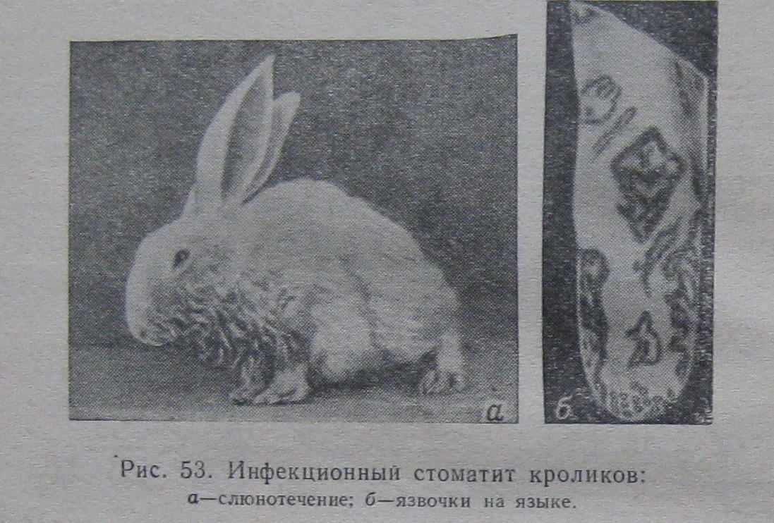 Стоматит у кроликов: симптомы, причины, лечение, рекомендации ветеринаров.