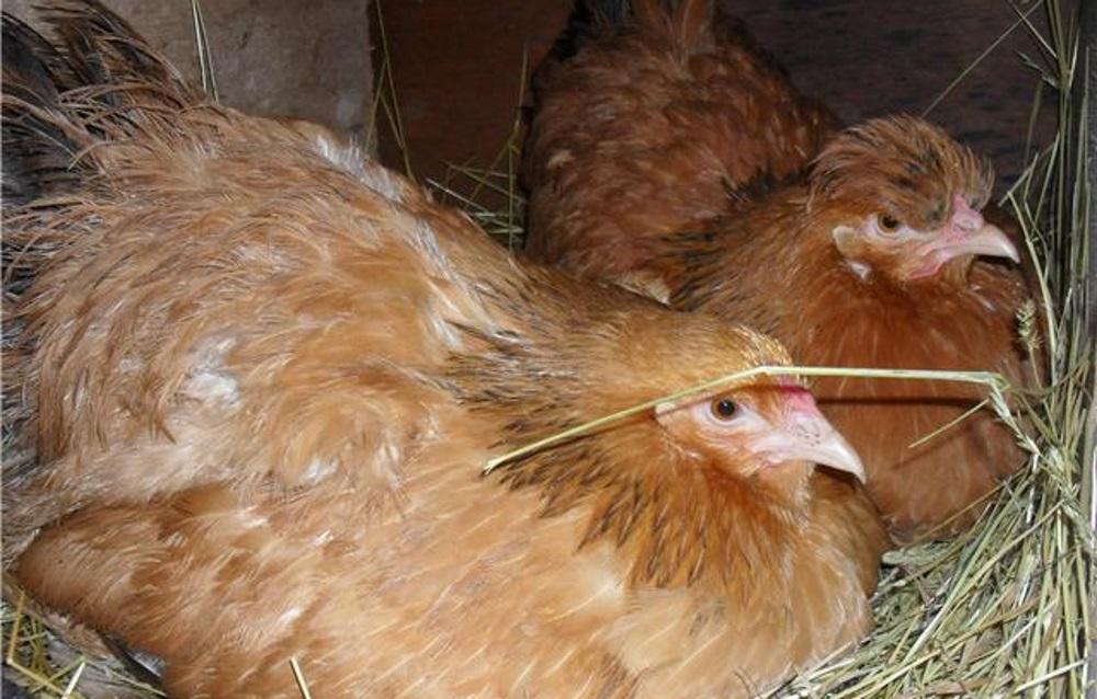 Как отучить курицу от насиживания, видео и фото