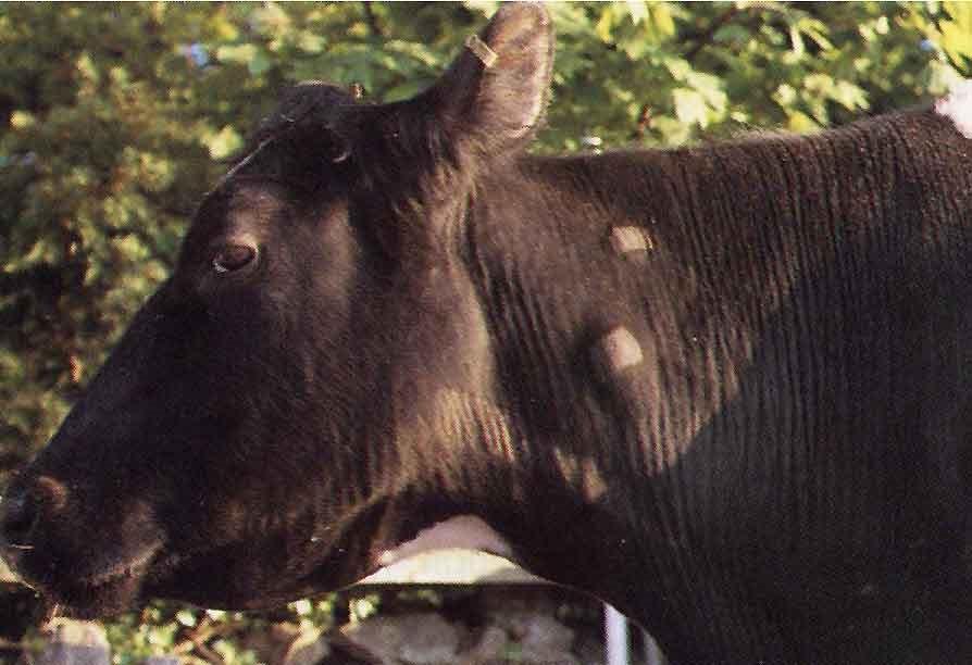 Паратуберкулез крупного рогатого скота: диагностика и лечение