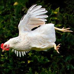 Как обрезать крылья курам: инструкция правильной подрезки. как определить курицу несушку, видео