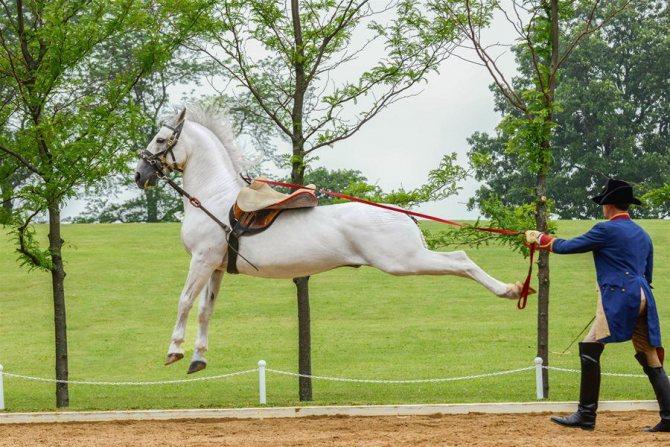 Липицианская порода лошадей | мои лошадки