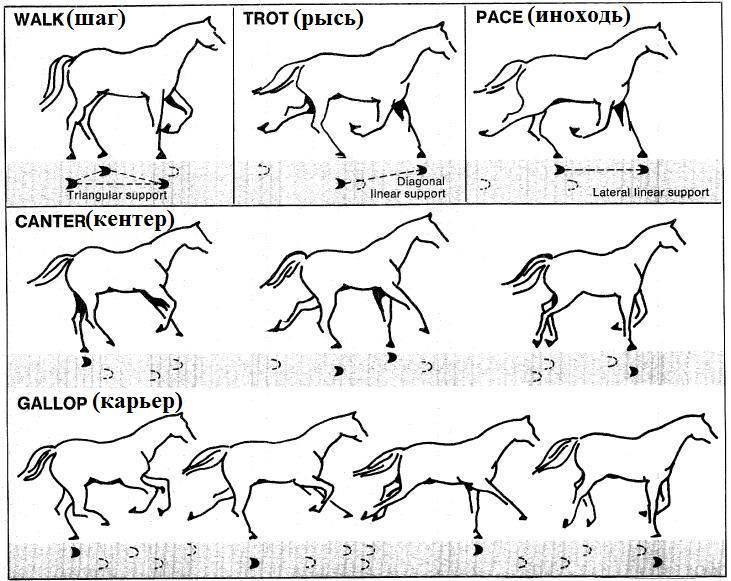 Обучение диких лошадей: характеристика, особенности, цикл времени