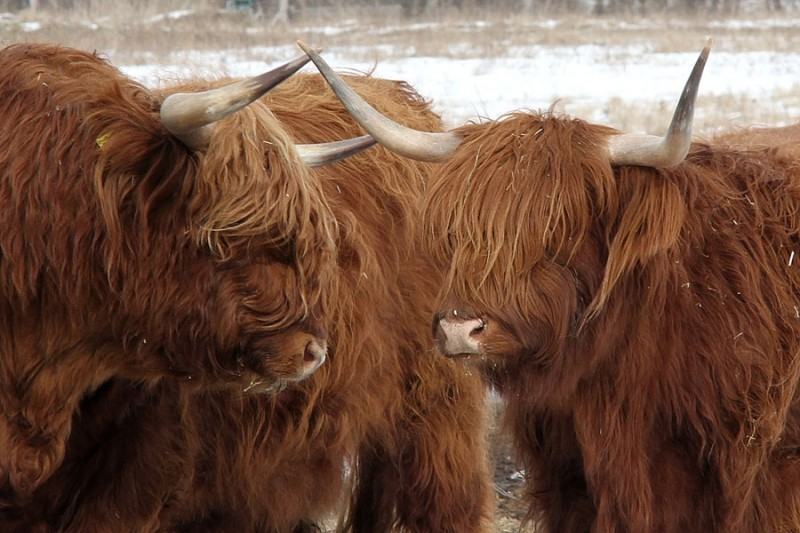✅ информация о плюшевых, пушистых, волосатых, мохнатых породах коров - tehnomir32.ru