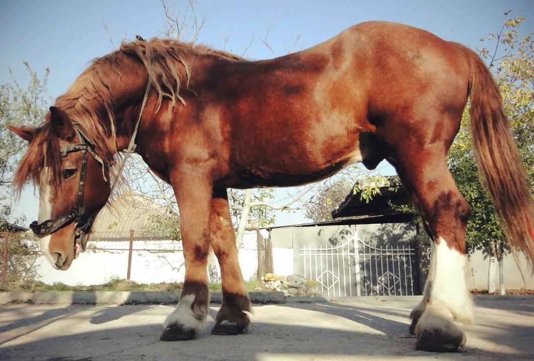 Русский тяжеловоз (порода лошадей): история, описание, характер, содержание и уход
