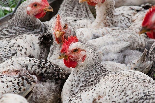 Cодержание и разведение цыплят бройлеров на приусадебном участке и в домашних условиях