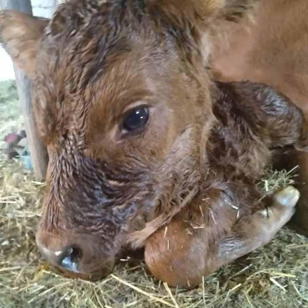 Что делать, если корова кашляет: методы лечения, рекомендации по профилактике