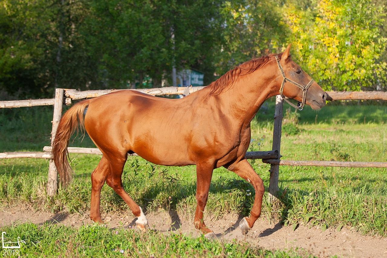 Донская порода лошадей: история, экстерьер, фото