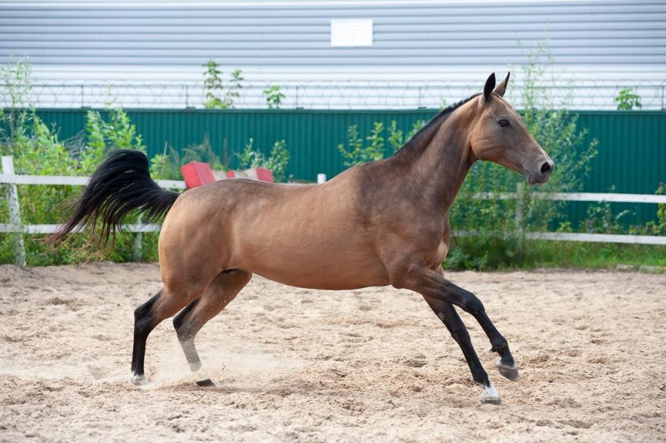 Конь буланый: какой это цвет, описание масти, отмастки