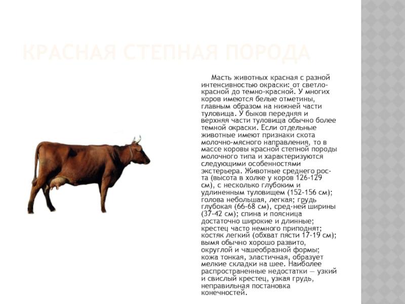 Красная корова (63 фото): характеристика степной и других пород крс, содержание быков и телят