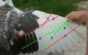 Как подрезать крылья индюкам чтобы не летали — про кур