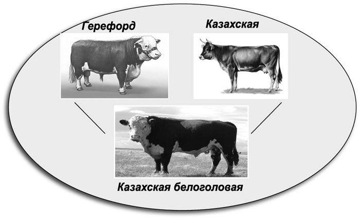 Казахская белоголовая корова – крупная мясная порода