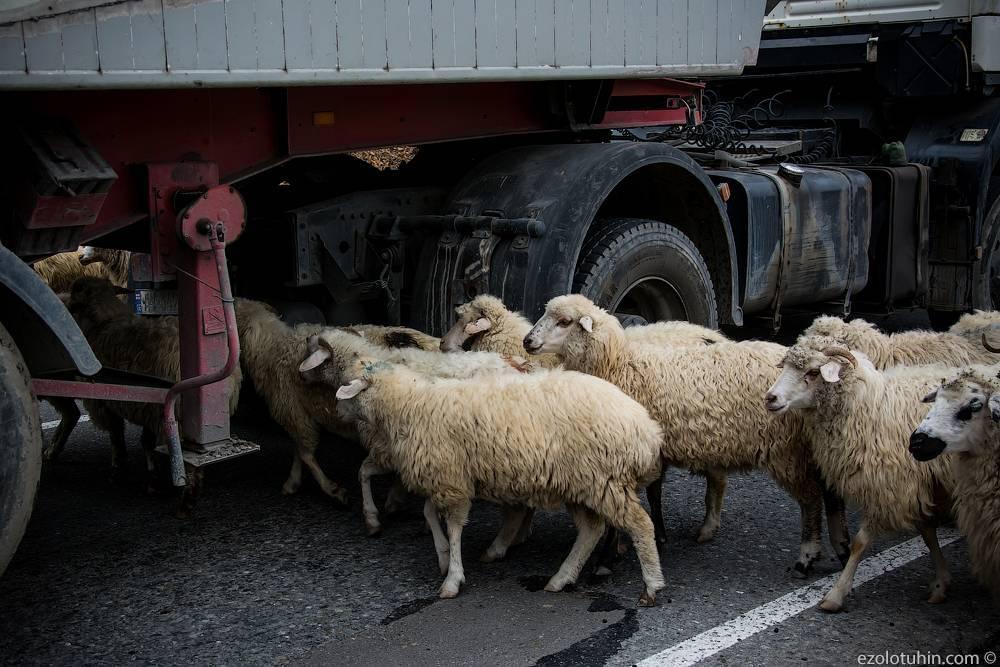 Стрижка овец: как и когда проводят, пошаговая инструкция
