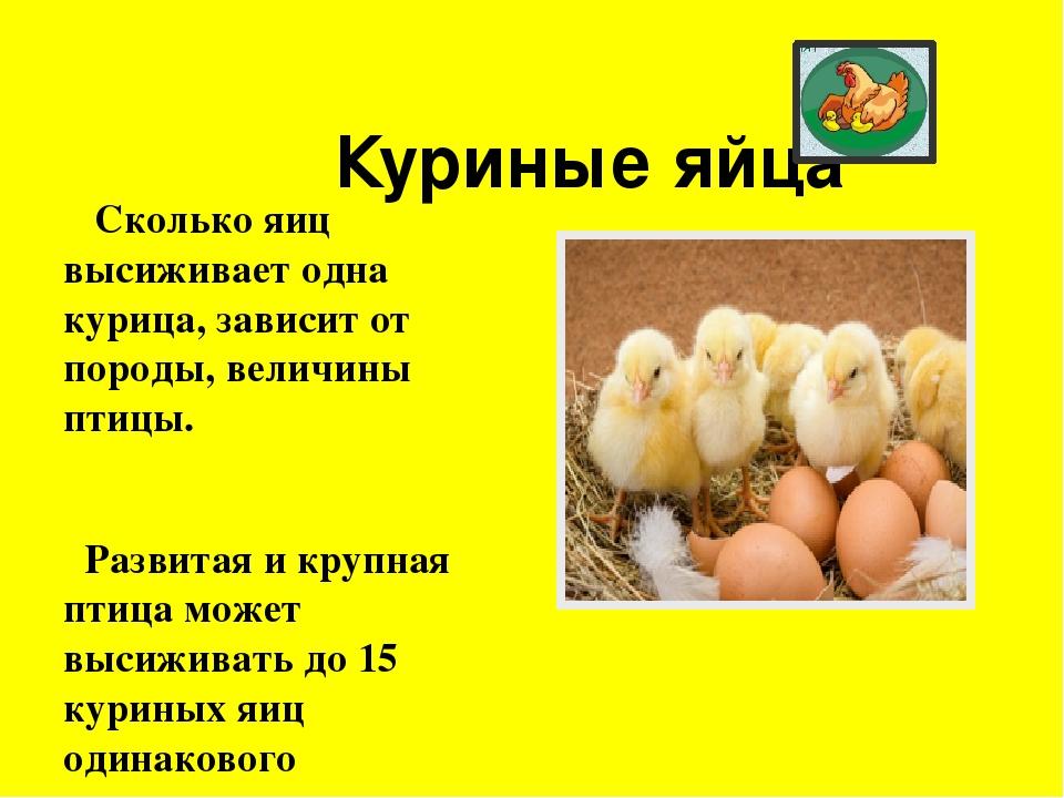 Сколько дней курица несушка высиживает яйца: описание процесса выведения цыплят