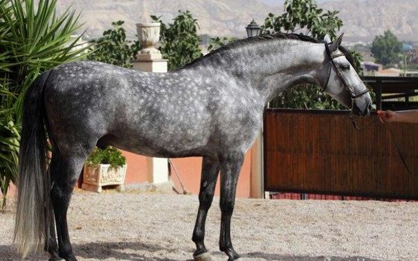 Андалузская лошадь — испанское сокровище