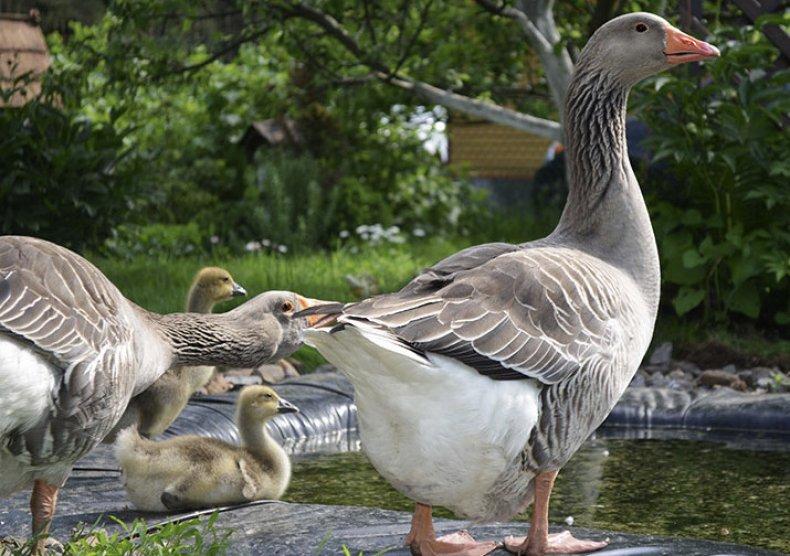 Порода гусей уральские серые