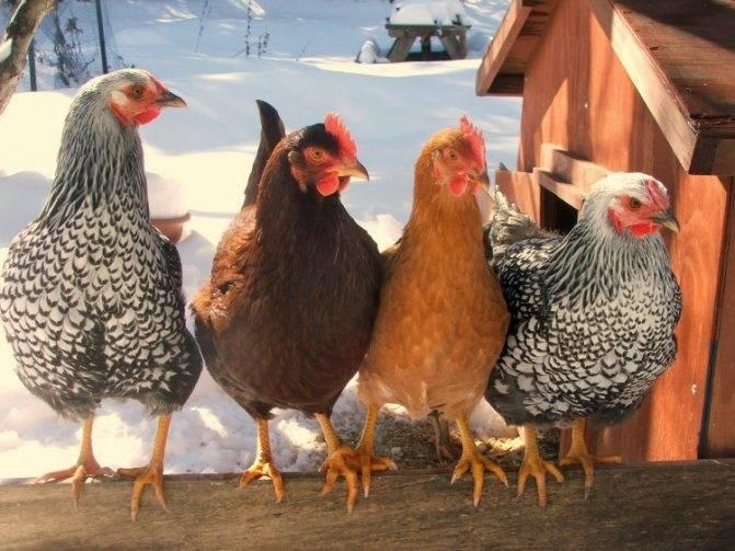 Цветной бройлер (29 фото): описание породы из франции sasso xl 551 и xl 451, характеристика суточных цыплят, отзывы