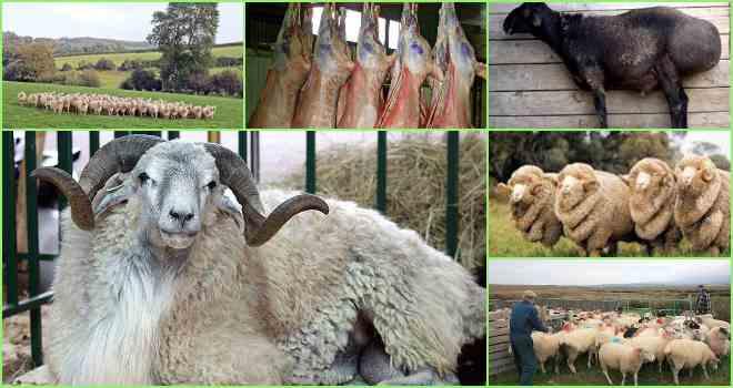 Разведение овец в домашних условиях для начинающих как бизнес