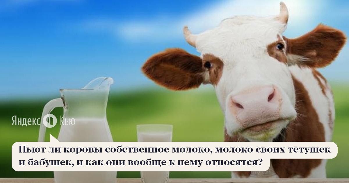 Почему молоко у коровы издаёт неприятный запах?