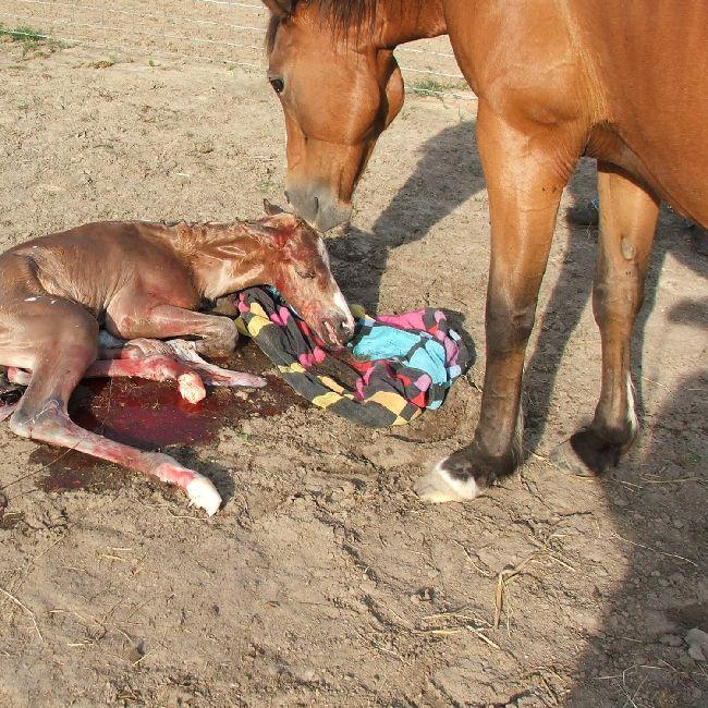 Как рожает лошадь, сколько длится беременность и рождение жеребенка: описание с видео и фото