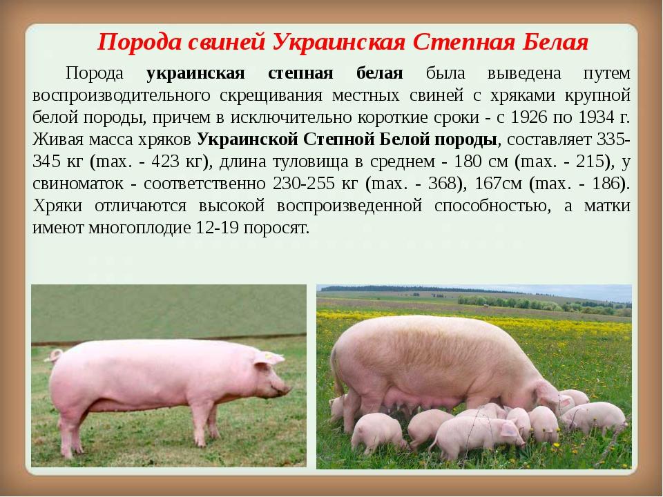 Белорусская черно-пестрая порода свиней - характеристика, разведение, фото | россельхоз.рф