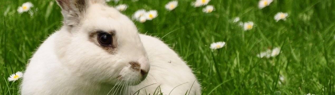 Сныть для кроликов: польза, вред правила кормления