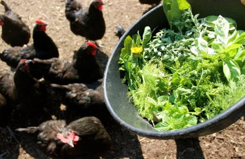 Когда цыплятам можно давать зелень: рекомендации, фото- и видеообзор