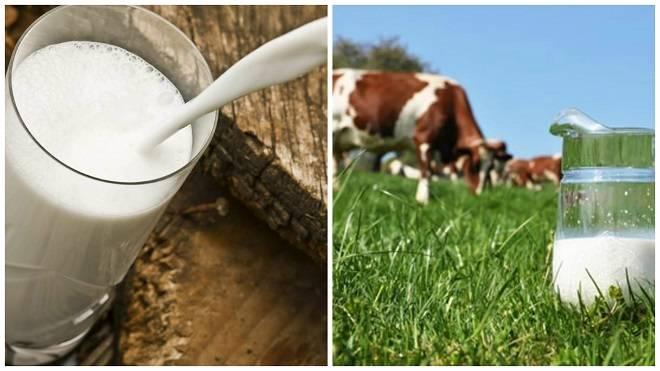 Почему горчит молоко у коровы: причины и что делать?