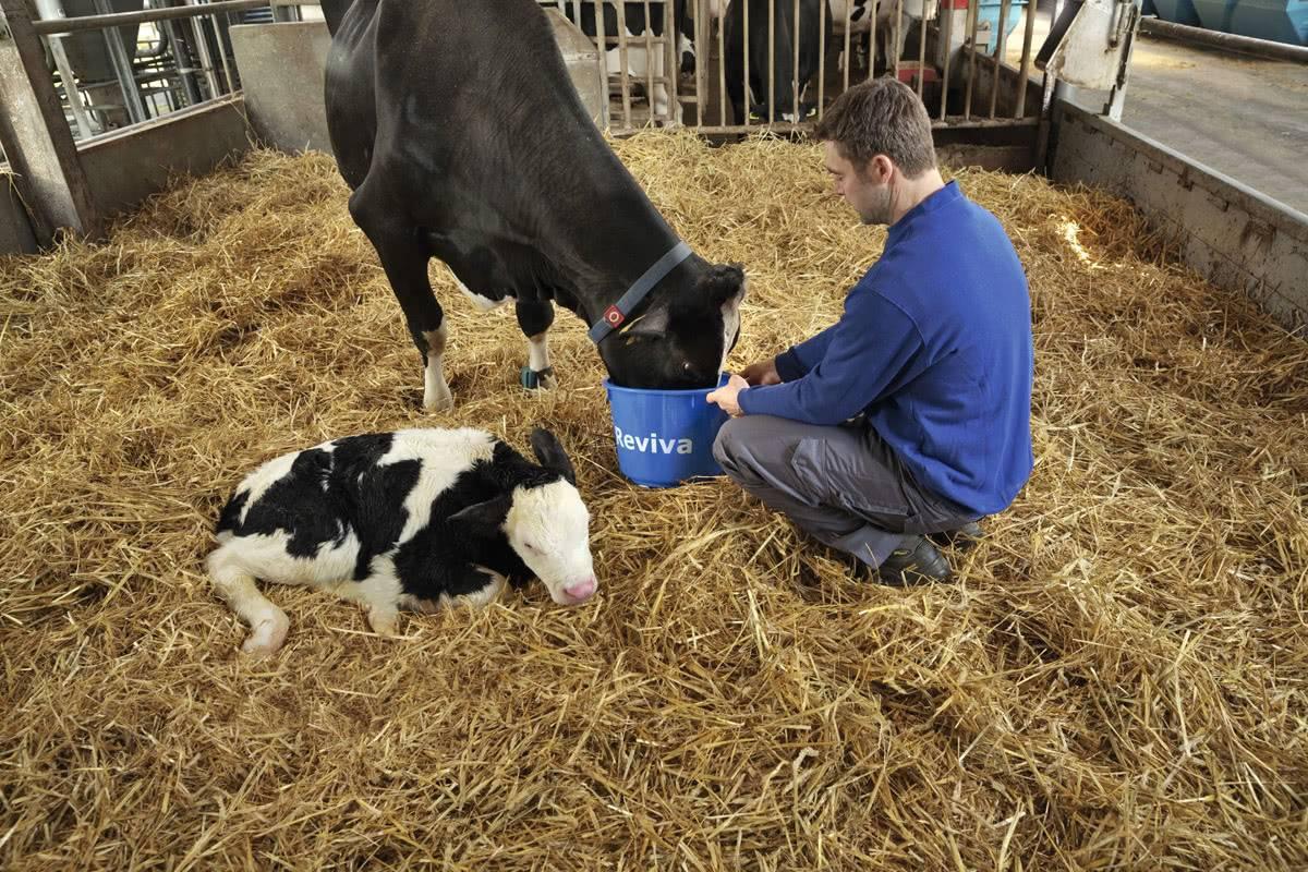 Что делать, если у коровы не отходит послед или она его съела