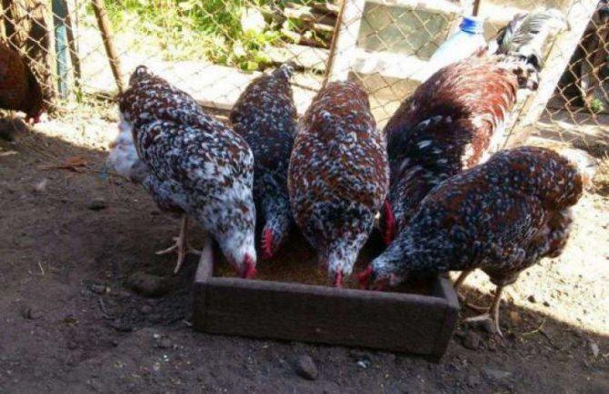 Ливенская порода кур: описание вида и содержание