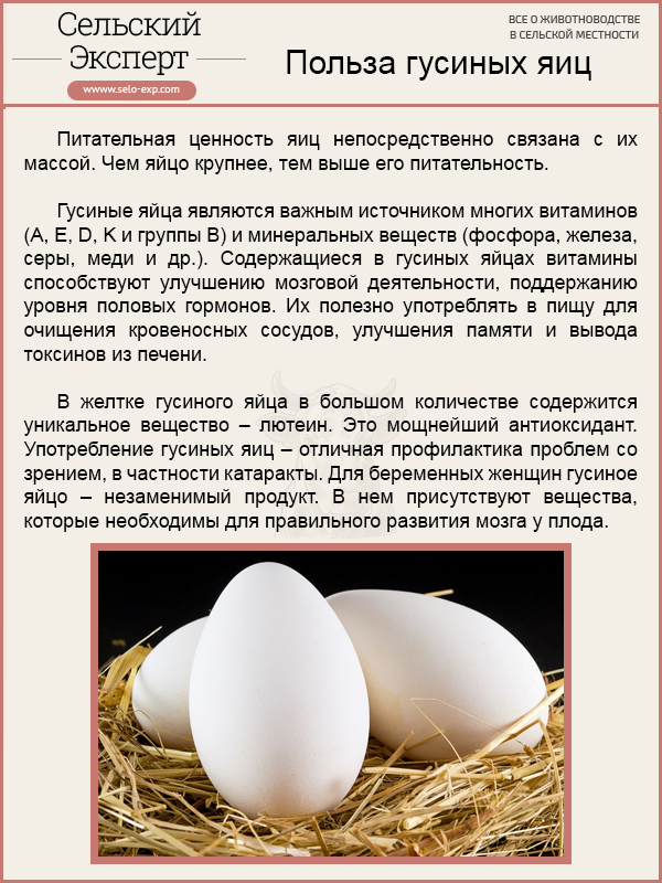 Когда гуси начинают нестись, сколько яиц несет гусыня, как посадить на яйца